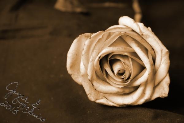 Sephia Rose