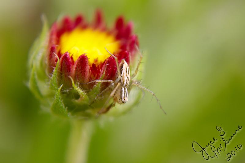 IMG_3680.Spider