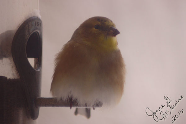 img_7616-goldfinch